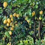 De citrusplant in vele variëteiten